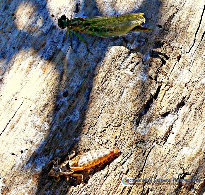 Dragonfly leaves skin behind