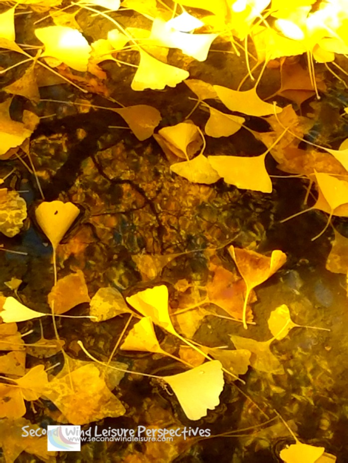 Fallen Leaves float in puddle amid the reflection of the tree from which they fell
