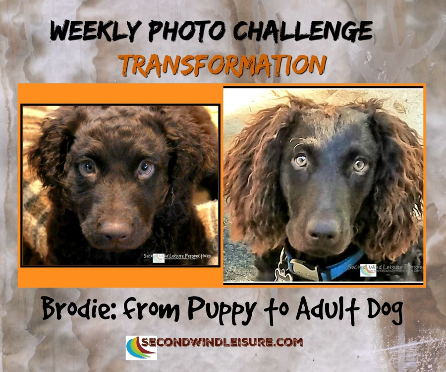 Transforming from puppy to adult dog right before our eyes