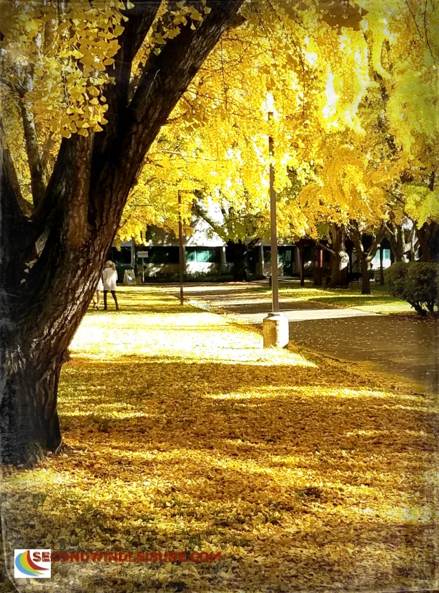 Campus Ginkos create both a canopy and a carpet of yellow