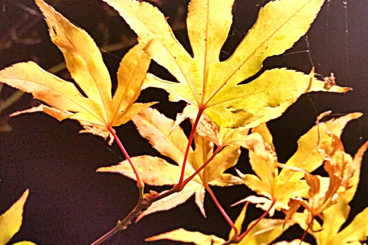 Backyard porch light illuminates delicate Fall leaves