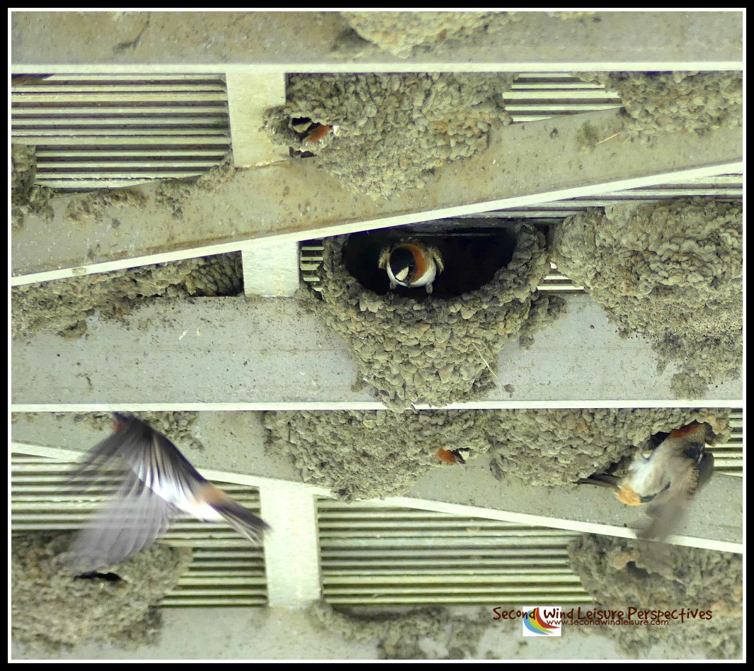 Swallow nesting season