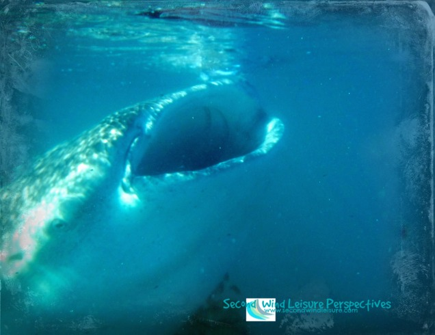 Whale shark also plays peek-a-boo