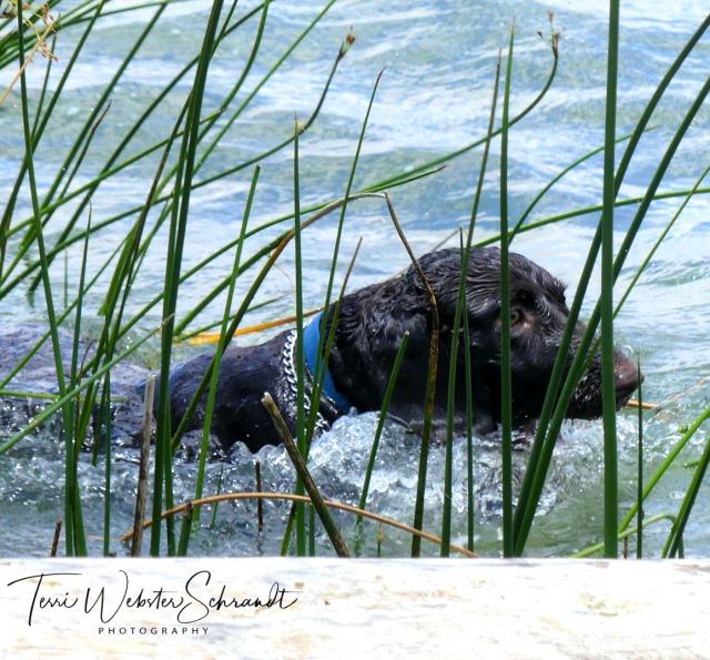 Boykin Spaniel Brodie loves the water