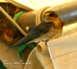 Bewildered swallow looking for its nest