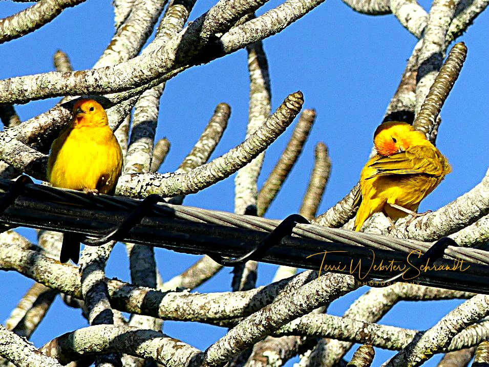 Yellow birds perch on twisted wire