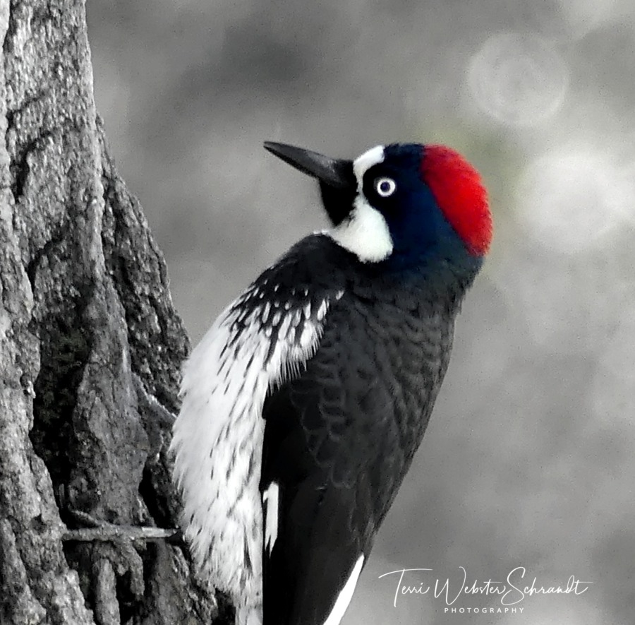 Black and white image of woodpecker with red head