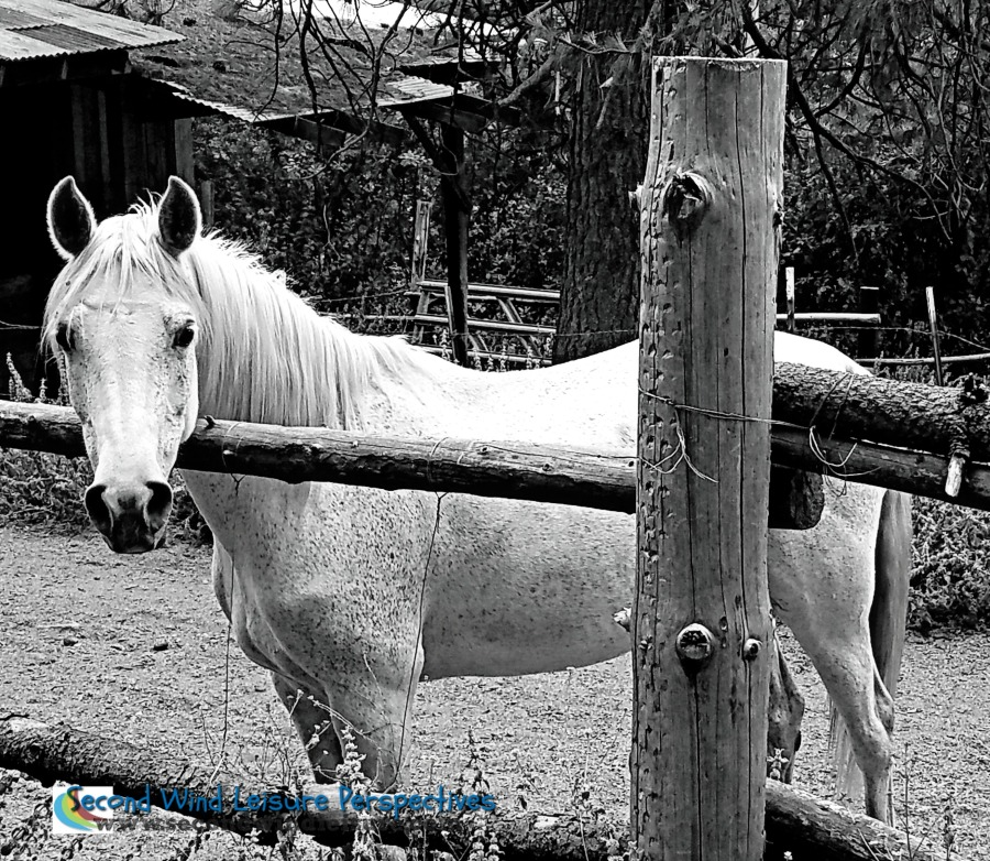 White horse at the fence
