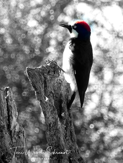 Woodpecker in black and white