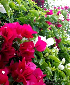Pink and white bougainvillea