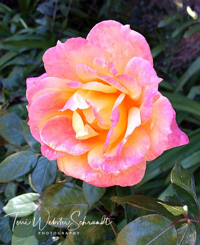 Macro shot of rose