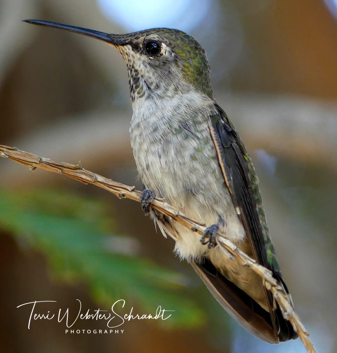 Closeup view of Hummingbird