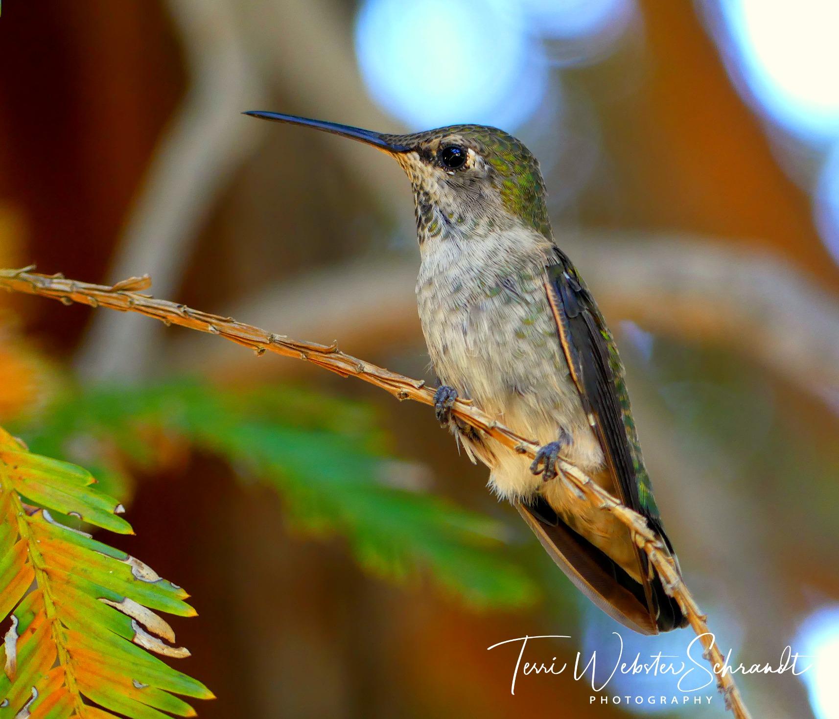 Photograph of hummingbird