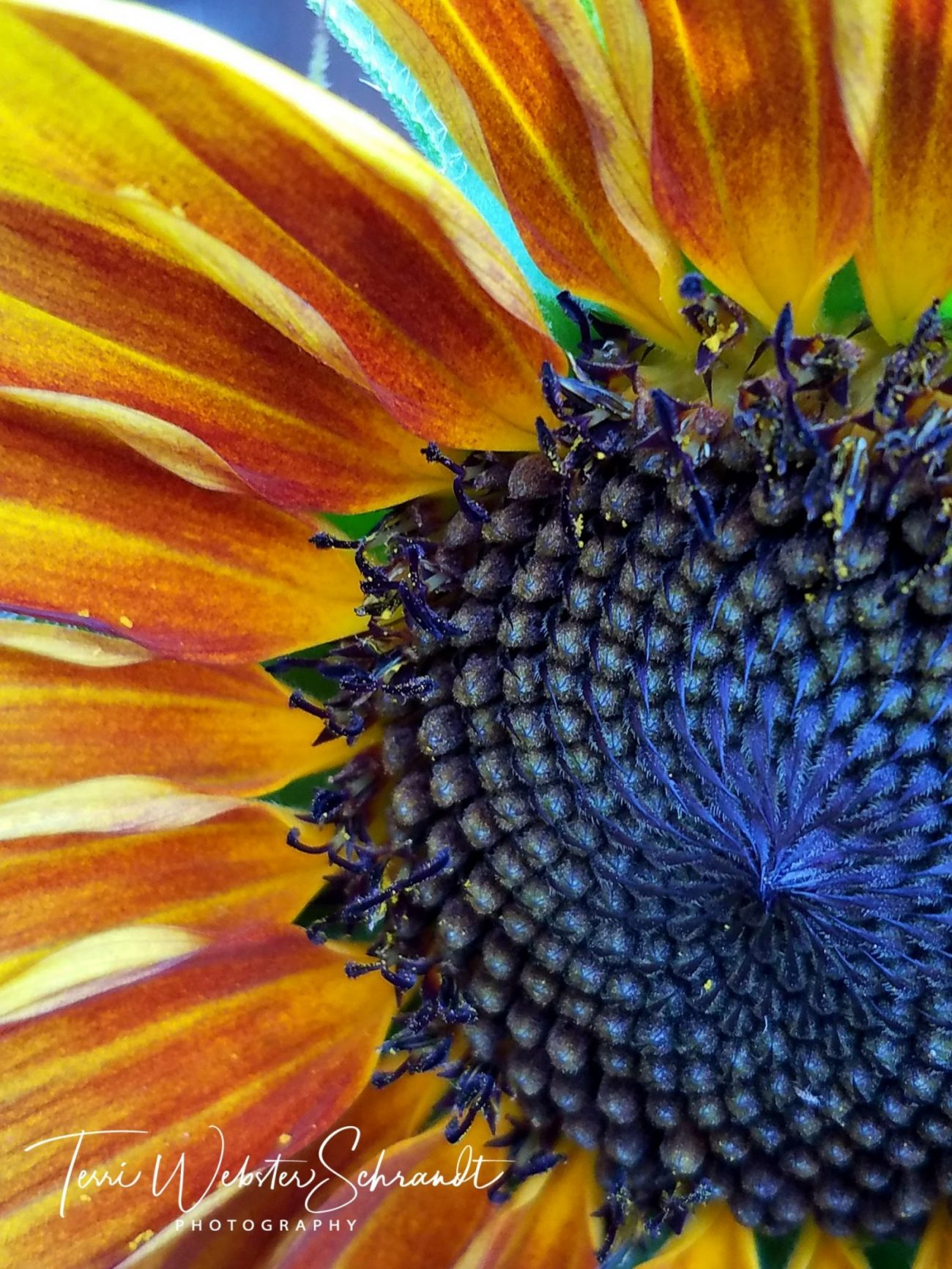 Macro view of sunflower