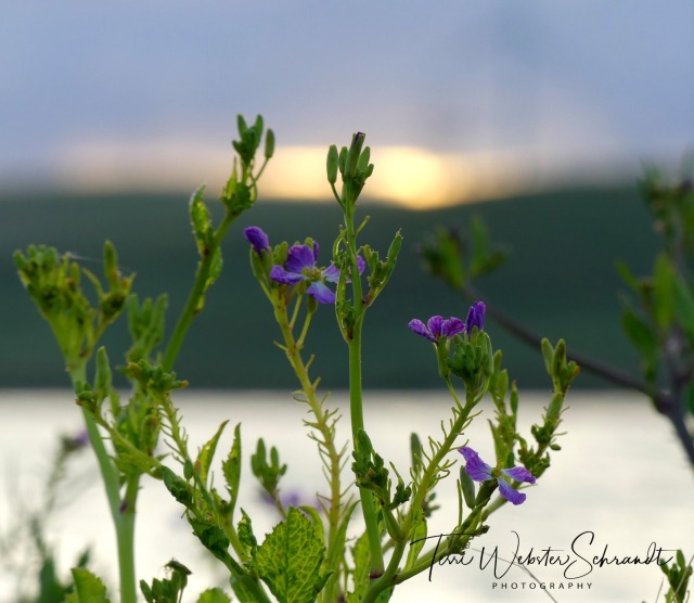 A mundane thistle looks beautiful in a sunset