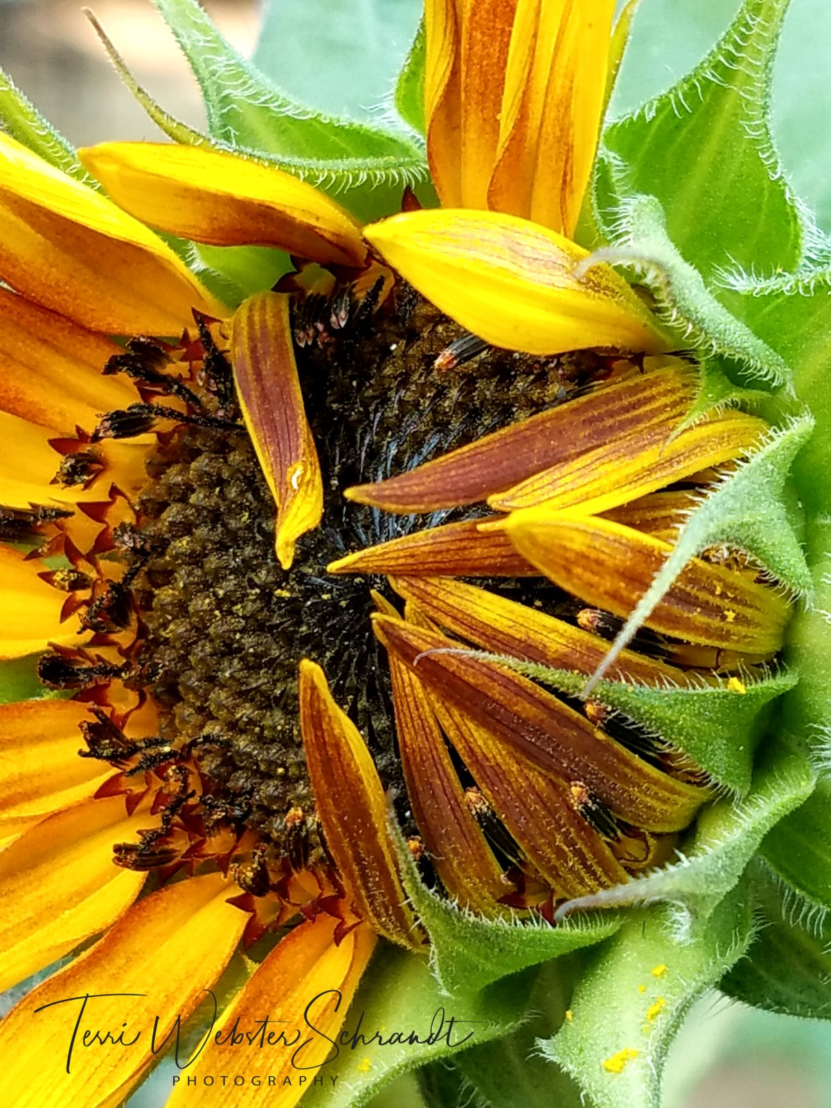 lazy opening of sunflower petals