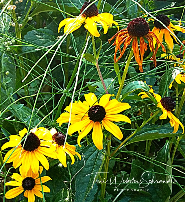 Black-Eyed Susan on the trail