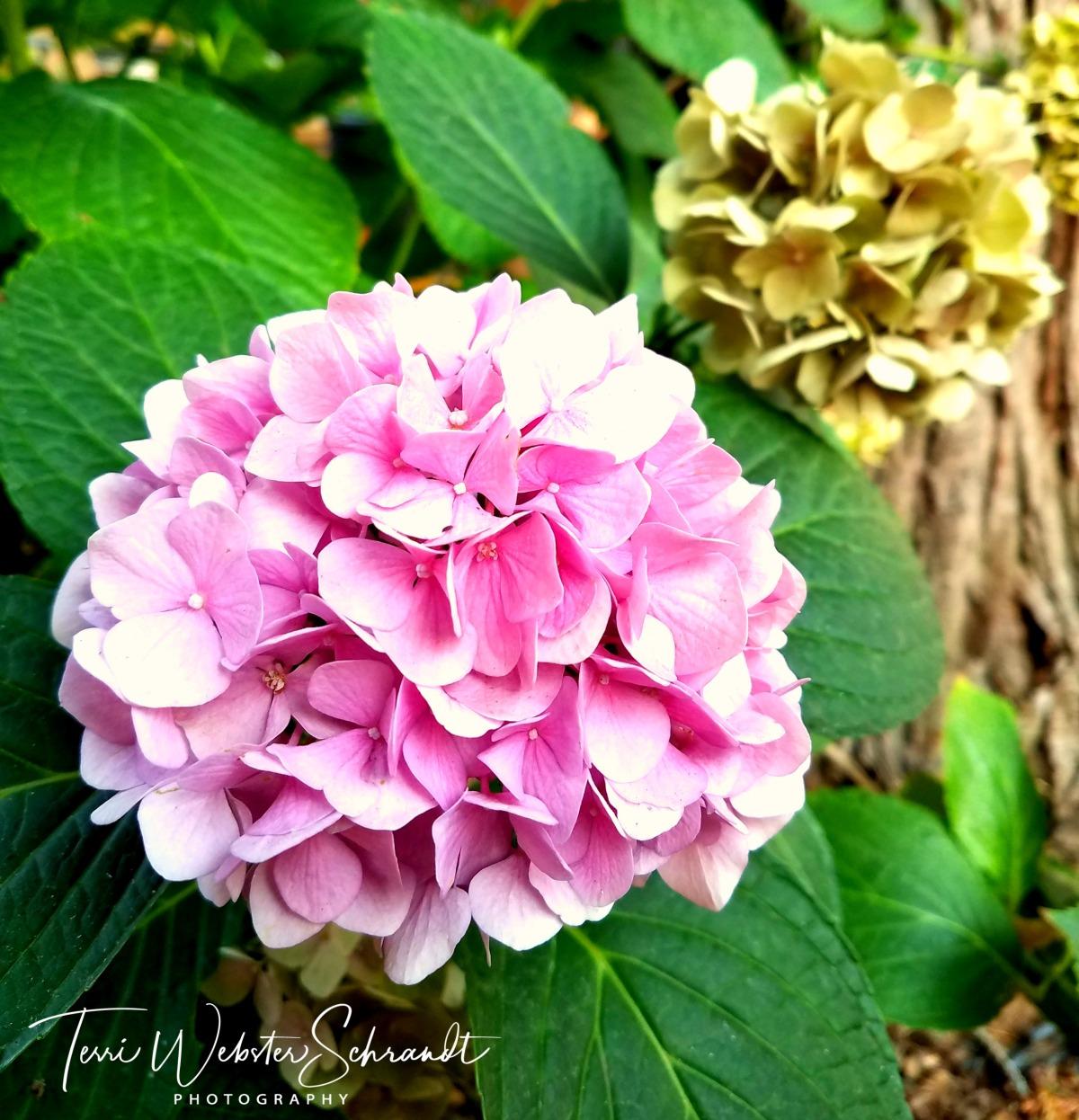 square pink hydrangia