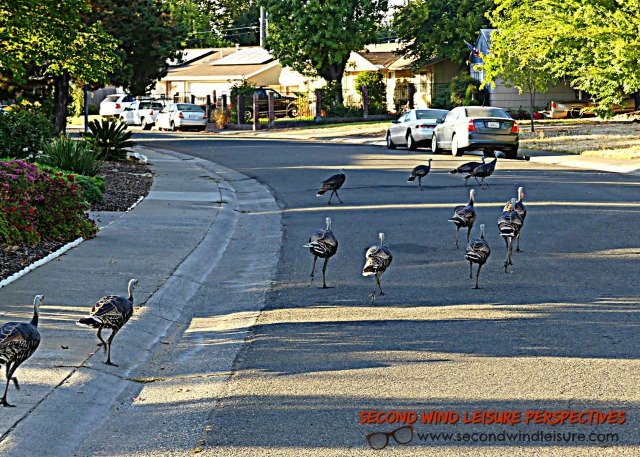 Urban Turkeys taking a walk