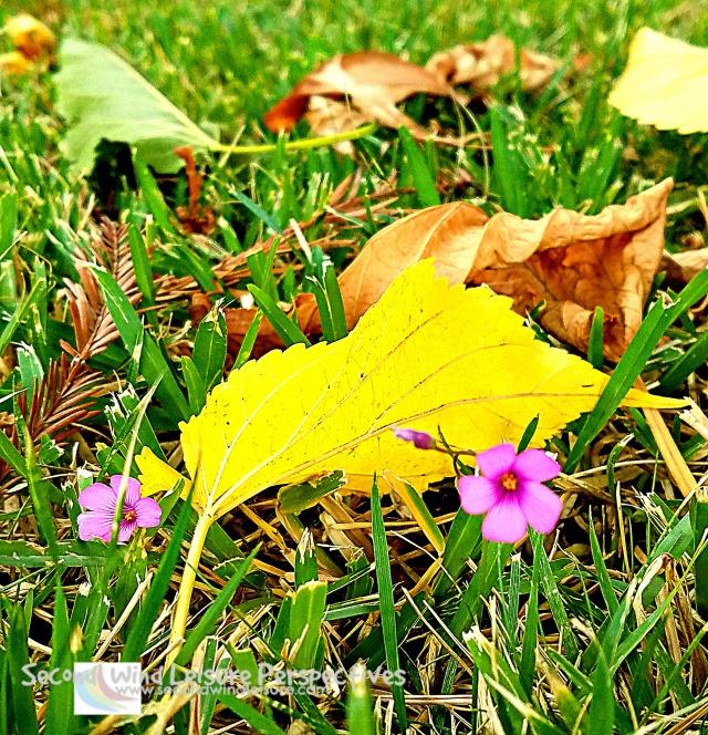 Autumn leaves amid clovers