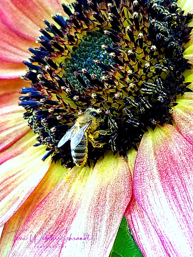 pink sunflower with bee