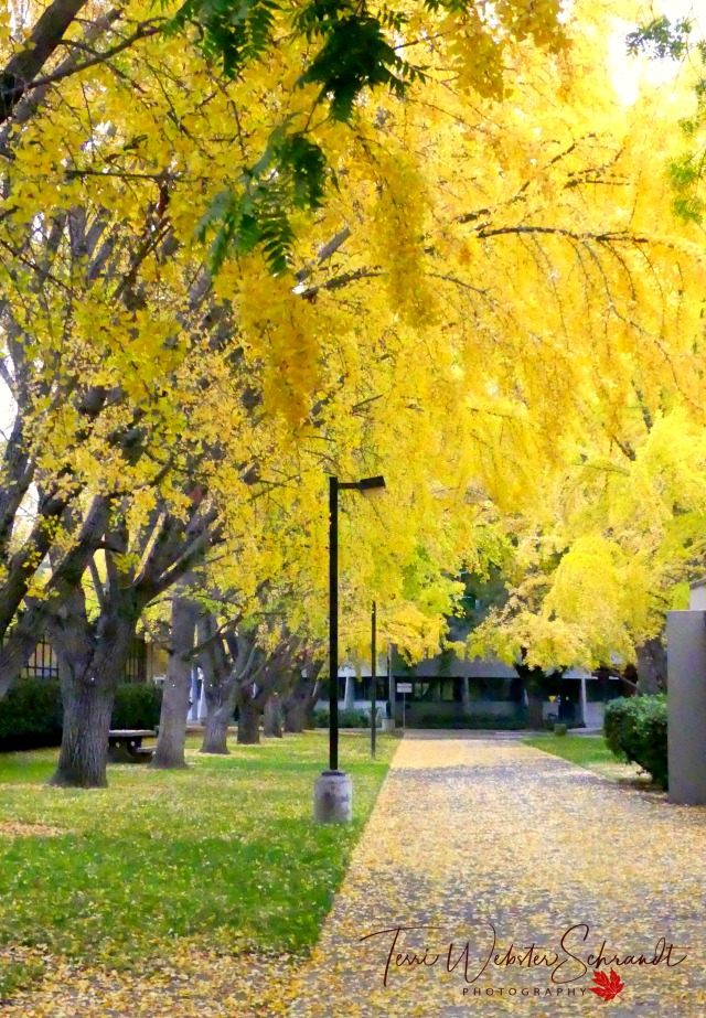 Yellow Ginkgos
