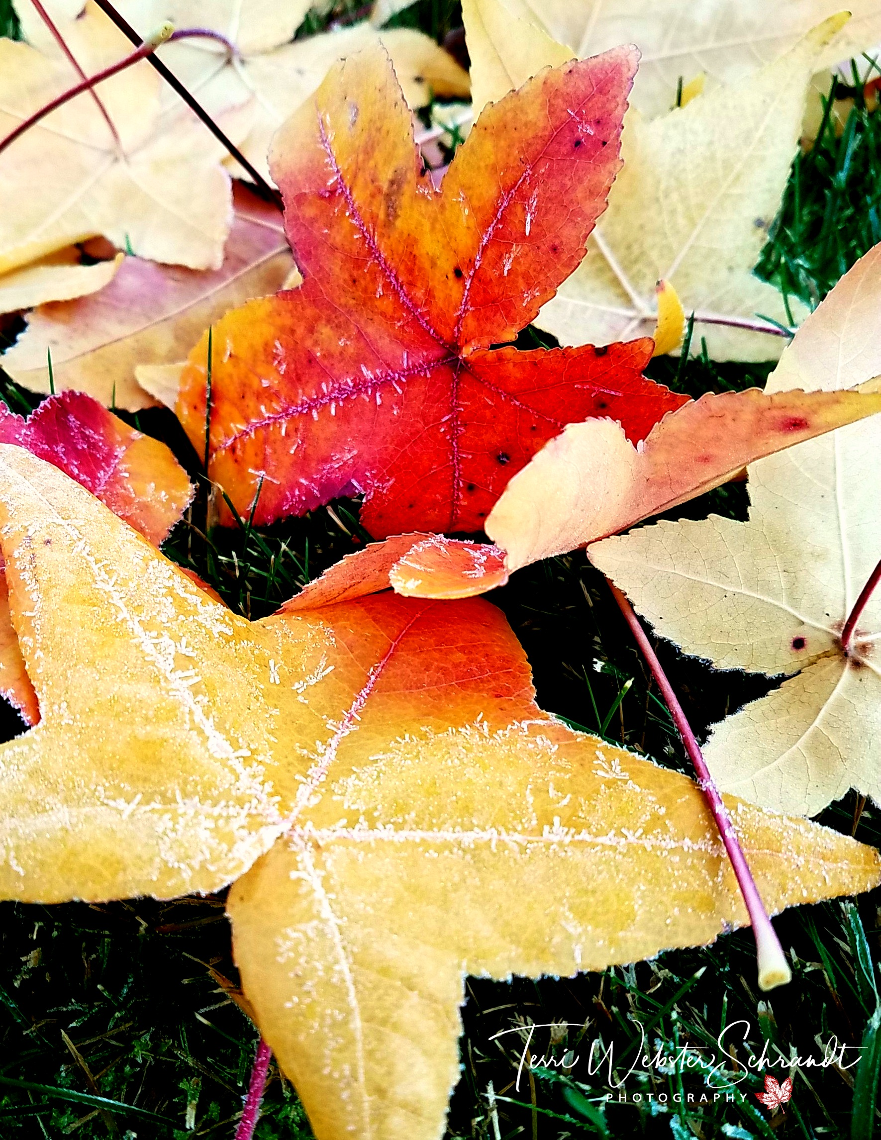 Fallen frosted leaves