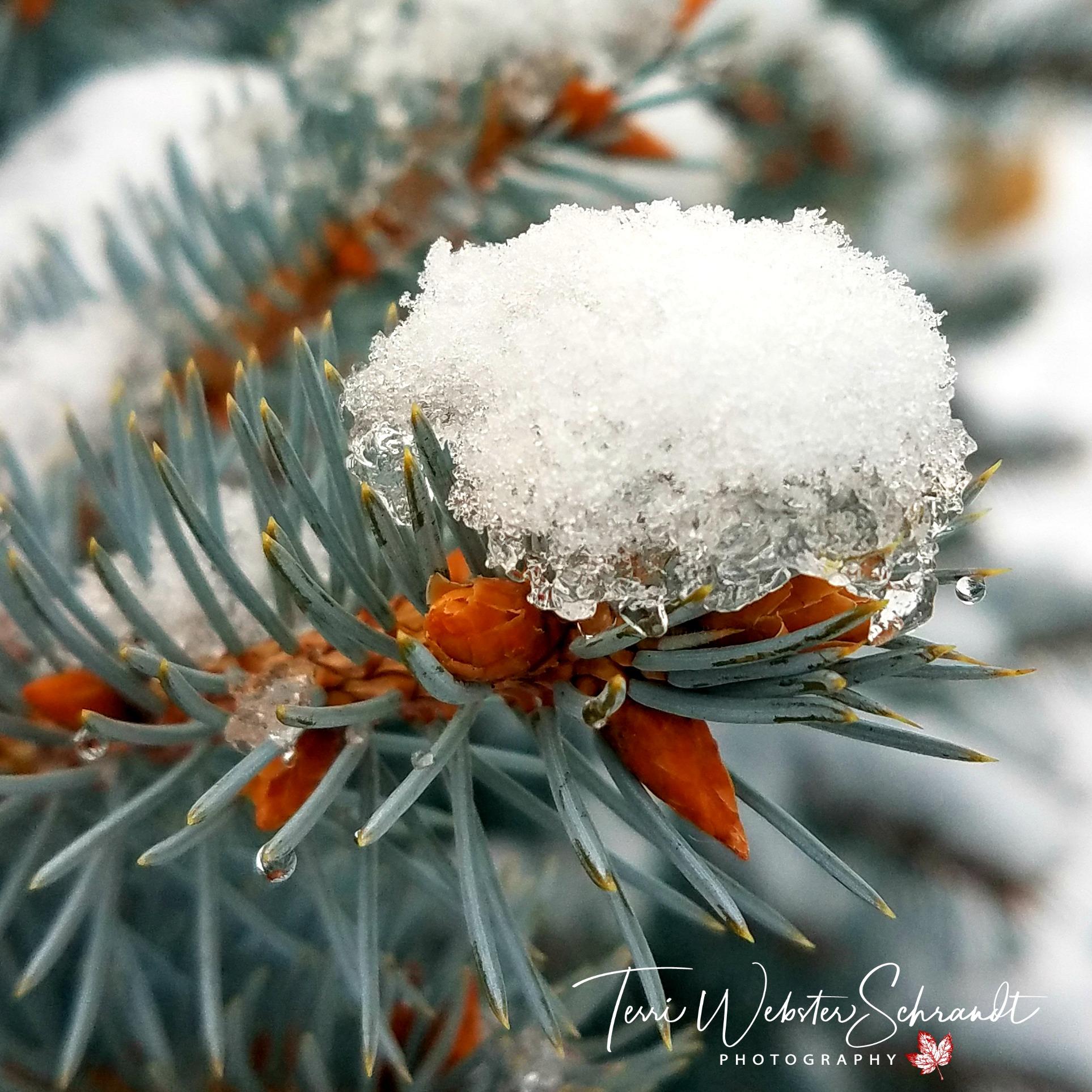 snowy bough
