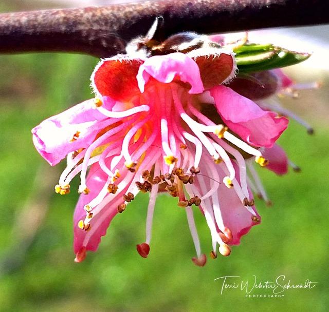 Pink Tree Blossom