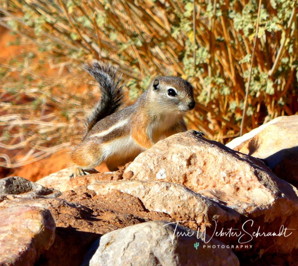 Golden Mantel Ground Squirrel