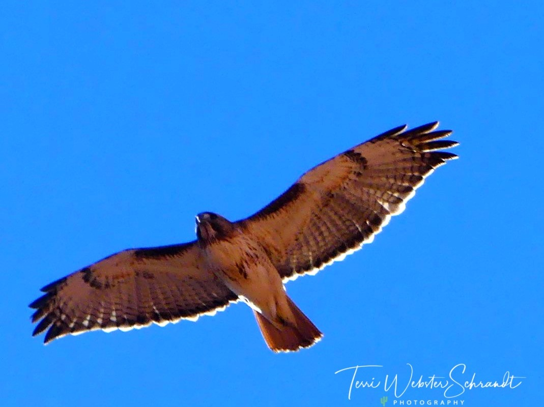 Hawk flies over Valley of Fire state park