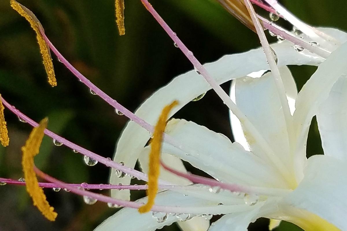 Hawaiian Honeysuckle