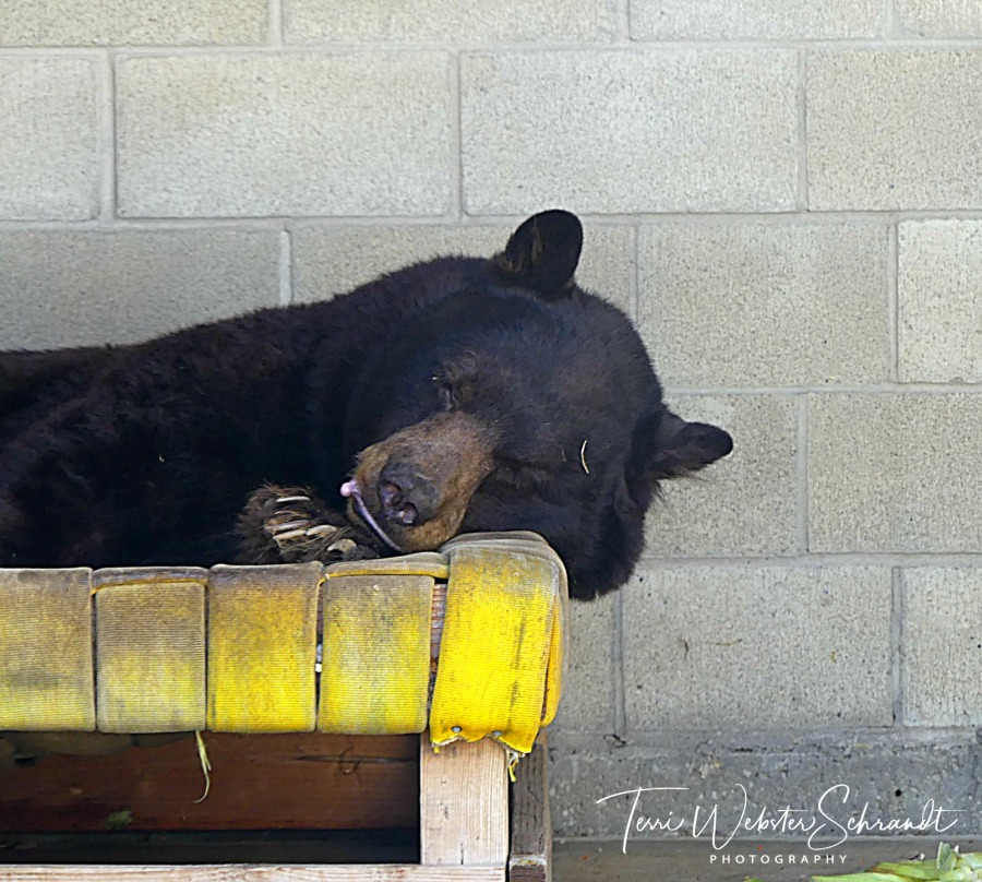 Sleeping Black Bear