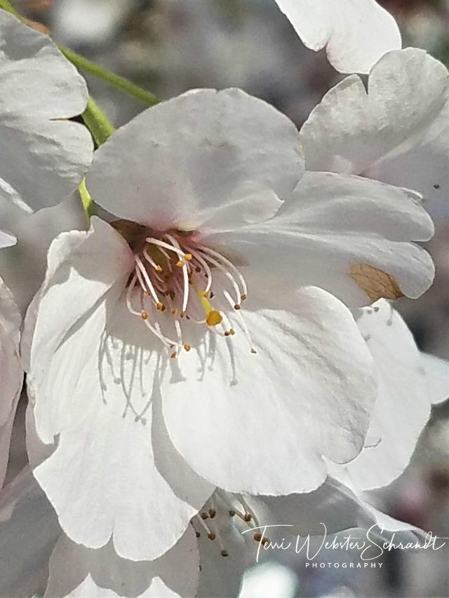 Macro white blossom