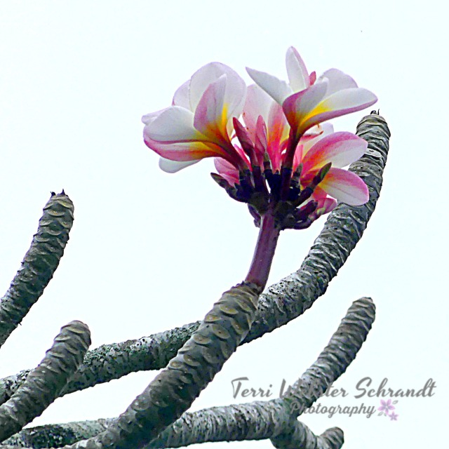 Plumeria welcomes spring