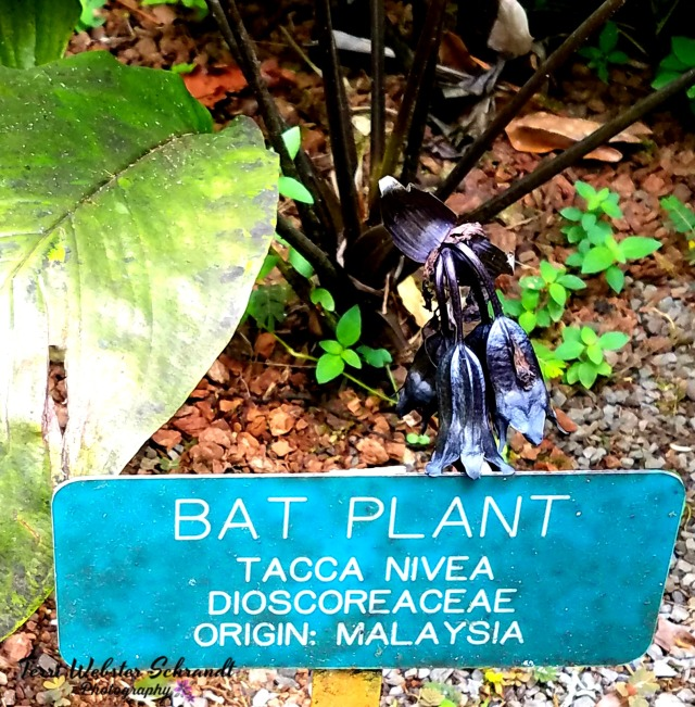 Malaysian Bat Black Flowering Plant