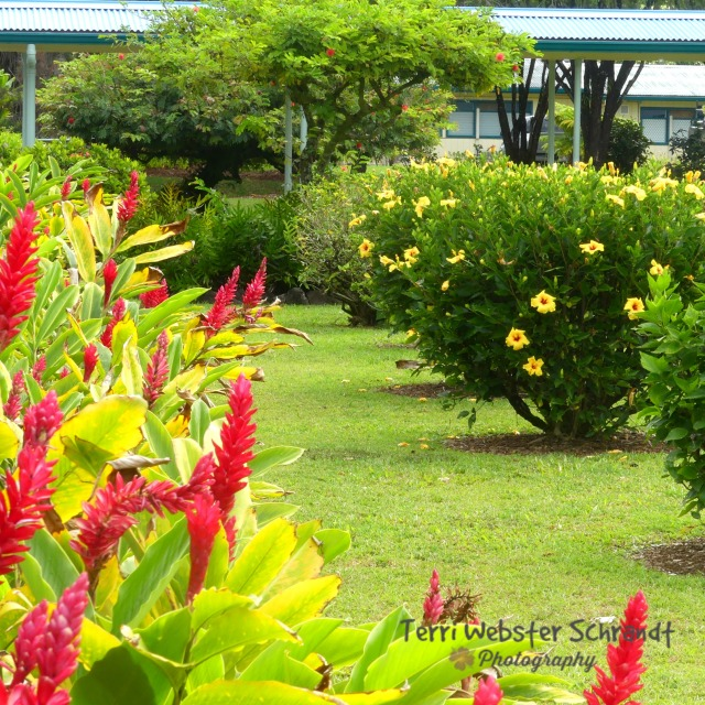 Wild ginger and hibiscus at local school