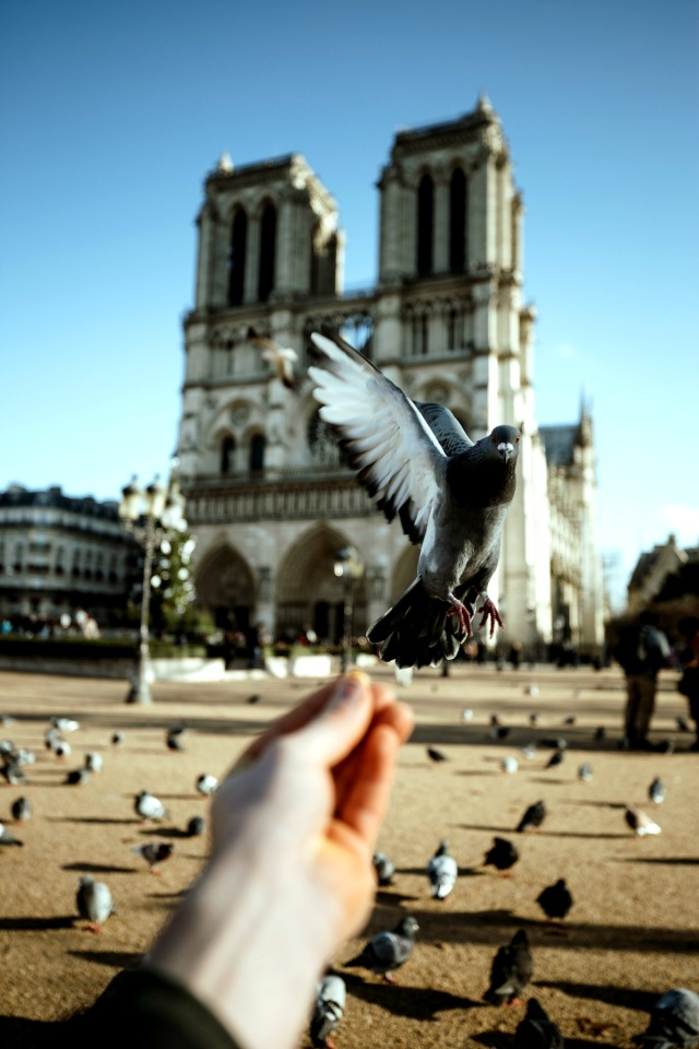 Notre Dame Cathedral Pigeon