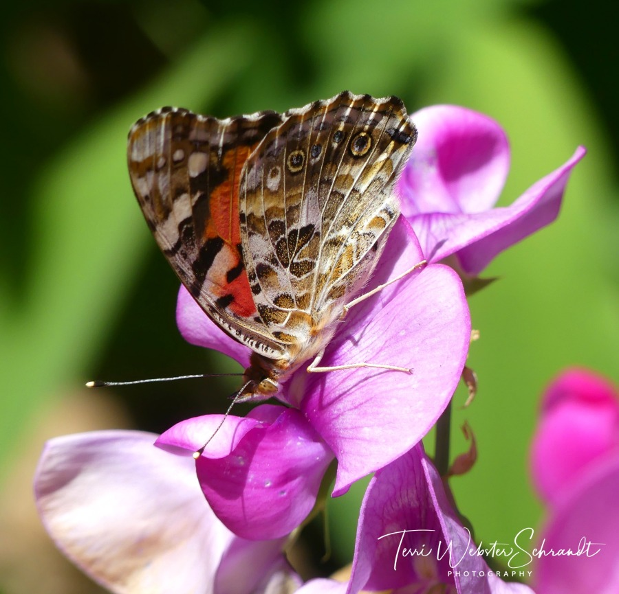 Pink Lady Butterfly