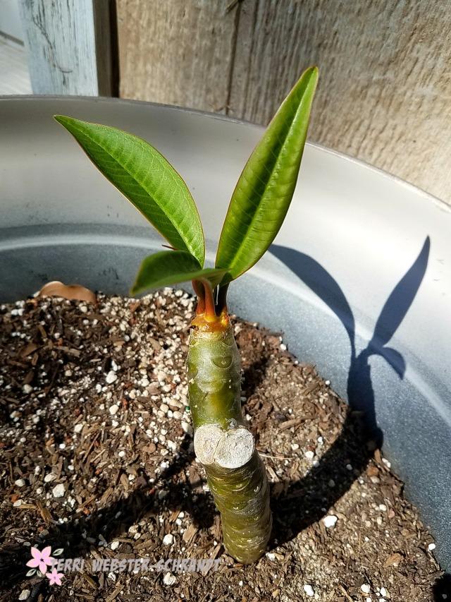 Plumeria sprout