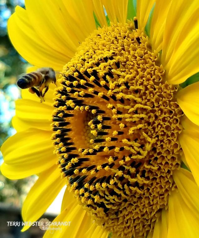 yellow bee sunflower