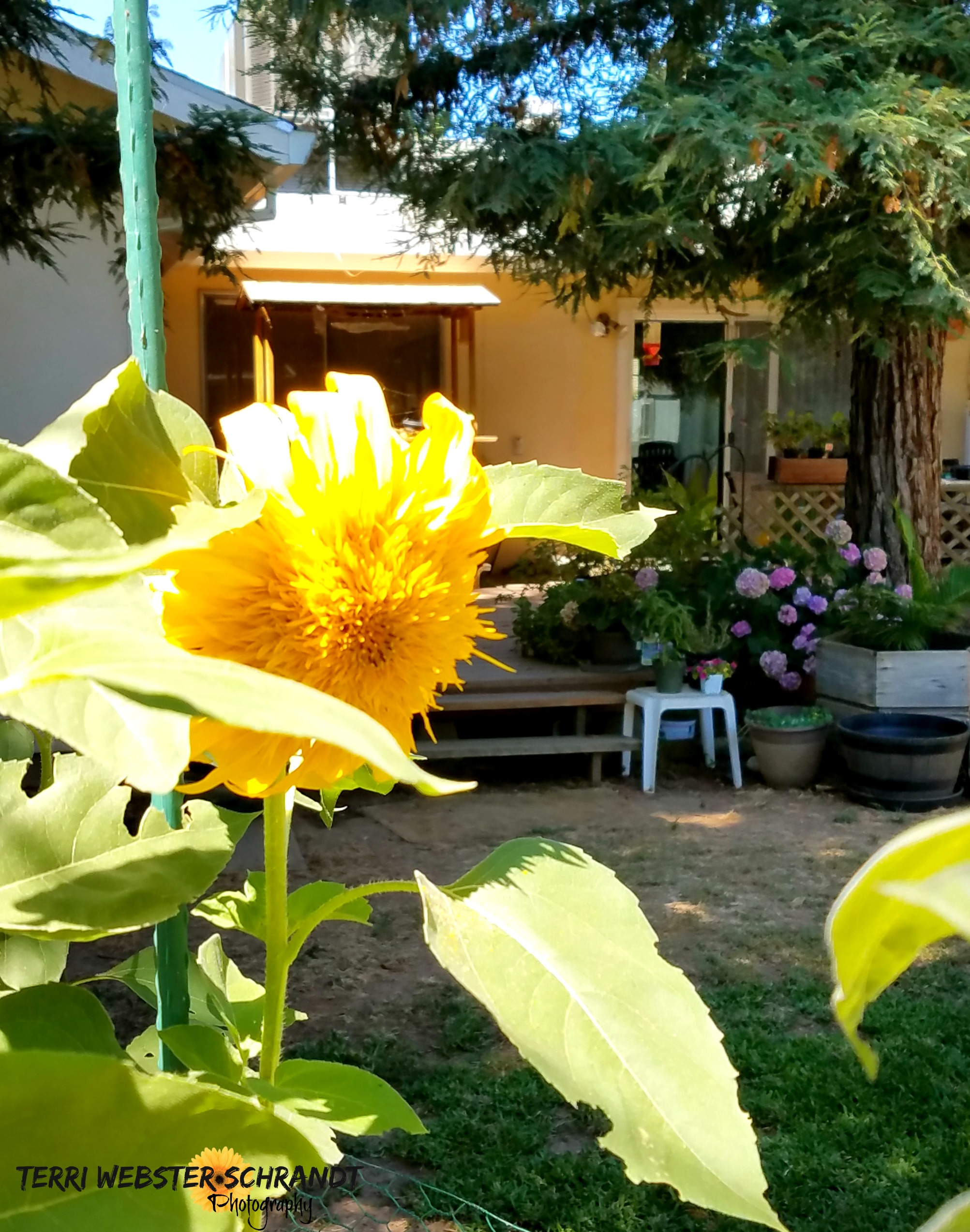 sunflower and garden view