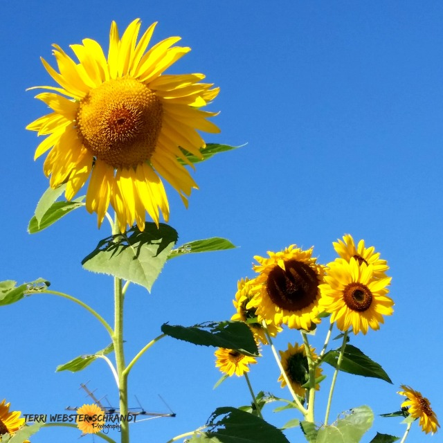 sunflowers surrounded by blue