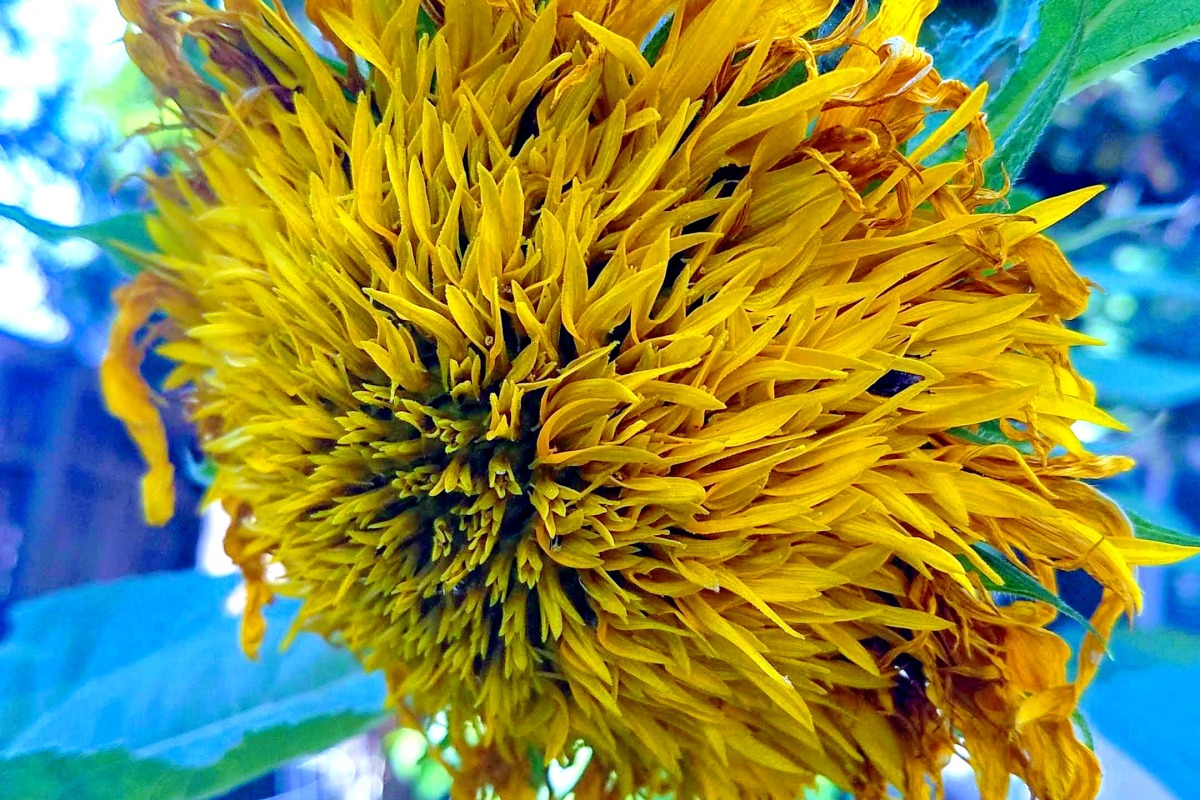 Withering sunflower