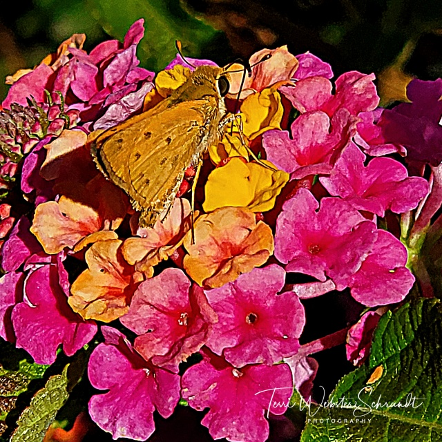 yellow butterfly on pink flowers