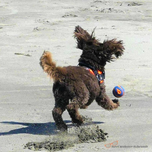 Aero the dog chases the ball on the beach