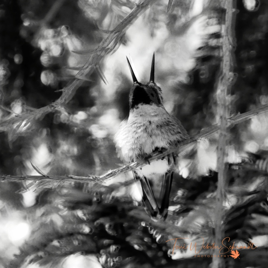 two-headed hummingbird