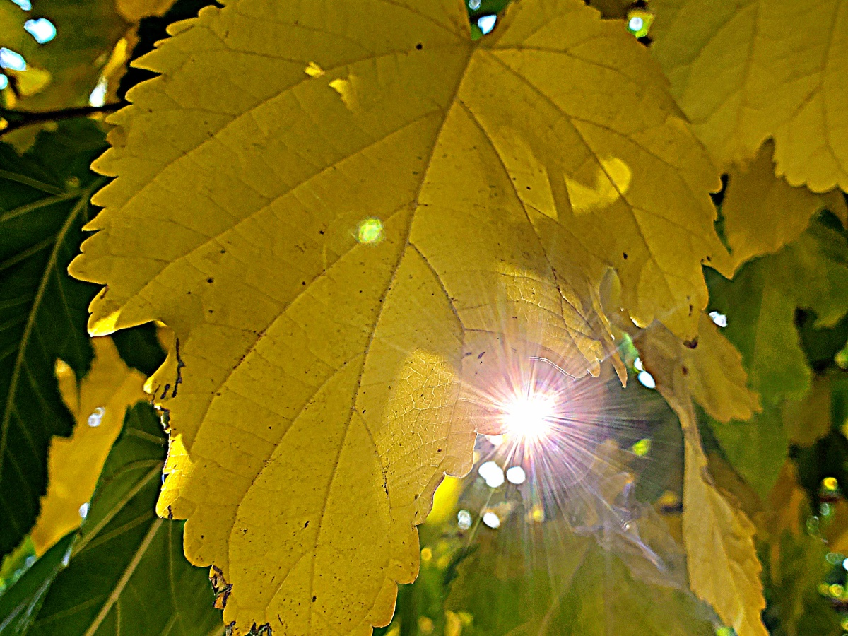 sunshine yellow leaf