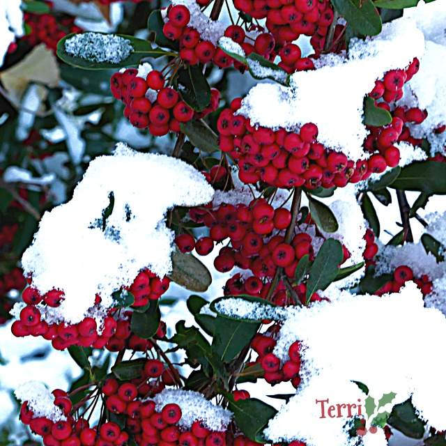 Christmas red berries