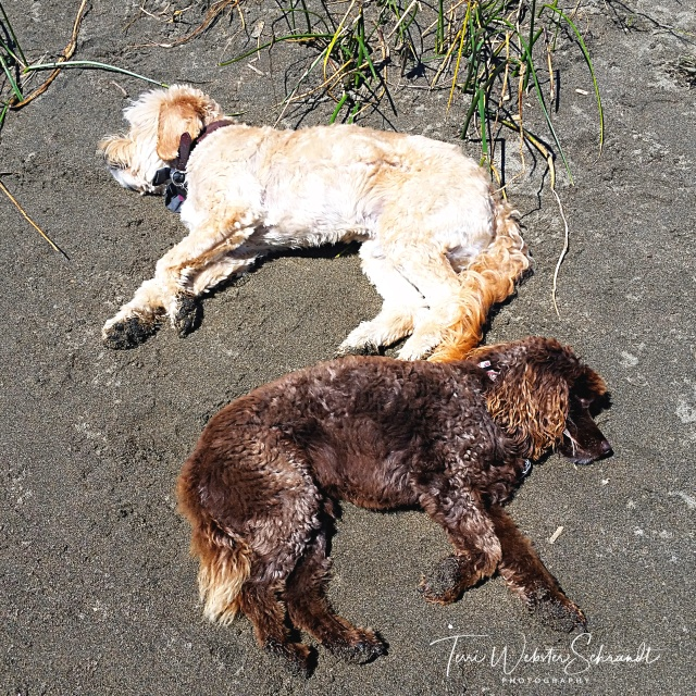 Blonde and brown dog yin and yang
